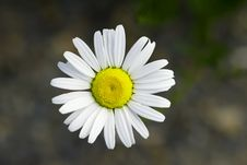 Free Daisy Royalty Free Stock Photography - 14641687