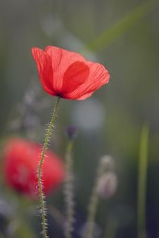 Free Poppy Stock Image - 14642121