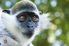 Free Small Monkey Royalty Free Stock Images - 14642199
