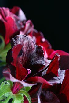 Free Black Geranium Royalty Free Stock Photos - 14642698