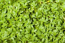 Free Garden Cress Stock Photography - 14642952