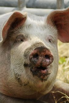 Free Big Pig With Dirty Face Stock Photography - 14643282