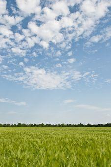 Free Barley Grain Farmland With Blue Sky Royalty Free Stock Photo - 14643755