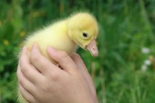 Free Gosling In Hands Royalty Free Stock Photos - 14643798