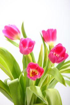 Free Tulips Stock Photo - 14643970