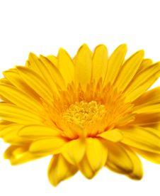 Free Flower Yellow Gerbera Royalty Free Stock Photo - 14643985