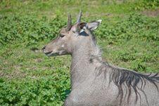 Free Antelope Nilgai Stock Photography - 14644192