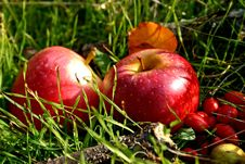 Free Apples In The Nature Stock Photo - 14644600