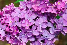 Free Lovely Lilac Royalty Free Stock Images - 14644869