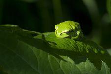 Free Tree Frog Stock Photography - 14645002