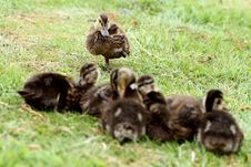Free Flock Of Ducks Royalty Free Stock Photo - 14645715