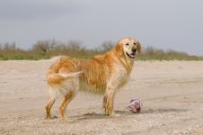 Golden Retriever Wants To Play With Ball Stock Images