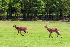 Free Deers Stock Photos - 14646713