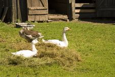 Free Geese On A Grass Royalty Free Stock Photos - 14647158