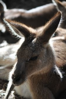 Free Kangaroo Royalty Free Stock Photo - 14647515