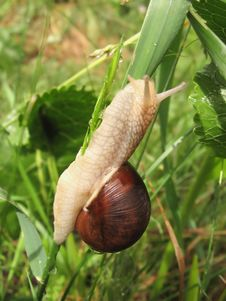 Snail Crawling On The Stalk Of Grass Stock Photos