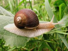 Snail Crawling On The Green Leaf Royalty Free Stock Photography