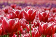 Free Red Tulips Stock Photography - 14648312