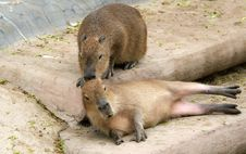 The European Beaver Or Eurasian Beaver Stock Images