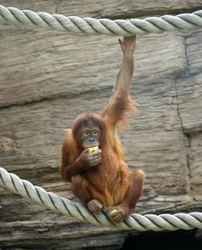 Free Big Terrible Orangutan Royalty Free Stock Photos - 14648848