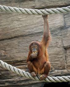 Free Orangutan Stock Image - 14648851