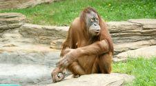 Free Orangutan Stock Image - 14648861