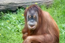Free Orangutan Royalty Free Stock Photography - 14648867
