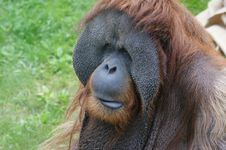 Free Orangutan Stock Photo - 14648880