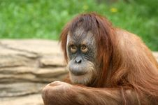Free Orangutan Stock Photo - 14648890