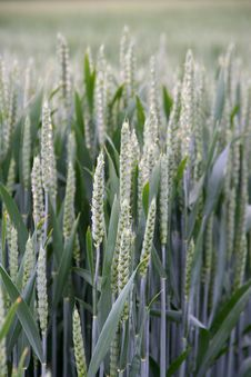 Free Wheat Spike And Plant Macro Stock Photography - 14648892