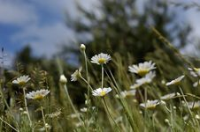 Daisy And Sky In Spring Stock Images