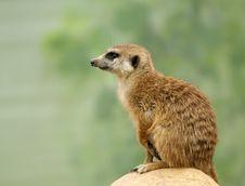 Free Meerkat Or Suricate (Suricata, Suricatta) Stock Image - 14648931