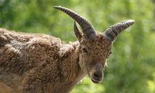 East Caucasian Tur (Capra Cylindricornis) Stock Images