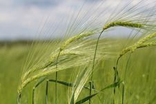 Free Green Wheats Royalty Free Stock Images - 14649049