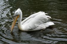 Free Pelican Stock Photos - 14649083