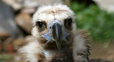 Free Griffin Vulture (Gyps Fulvus) Royalty Free Stock Photos - 14649118