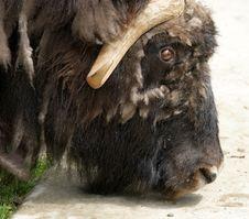 Free Bison Stock Photos - 14649153