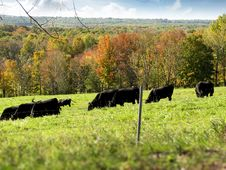 Free Black Cows Grazing In A Field Stock Photography - 14649462