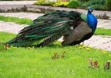 Free Peacock 1 Royalty Free Stock Images - 14649499