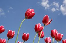 Free Red Tulips Royalty Free Stock Images - 14649649