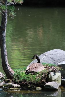Free Nesting Geese Royalty Free Stock Photography - 14649837