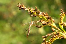 Free Crane Fly Royalty Free Stock Photography - 14649887