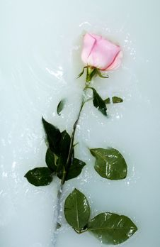 Free Rose In Water Stock Image - 14649951