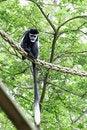 Free Black And White Colobus Monkey Stock Images - 14655494