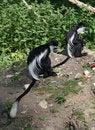 Free Black And White Colobus Monkey 5 Royalty Free Stock Photos - 14655558