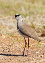Free Crowned Lapwing Stock Photo - 14656820