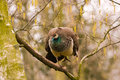 Free Peahen In A Tree Royalty Free Stock Image - 14658316