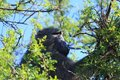 Free Baboon In A Tree Royalty Free Stock Photos - 14659198
