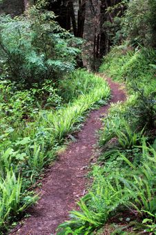 Free Redwood Forest Trail Stock Image - 14650511