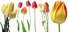 Free Tulips. Stock Photography - 14650542